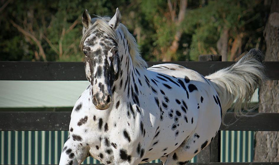 Knabstrupper stallion at stud Lori's Flashpoint Af Lyn