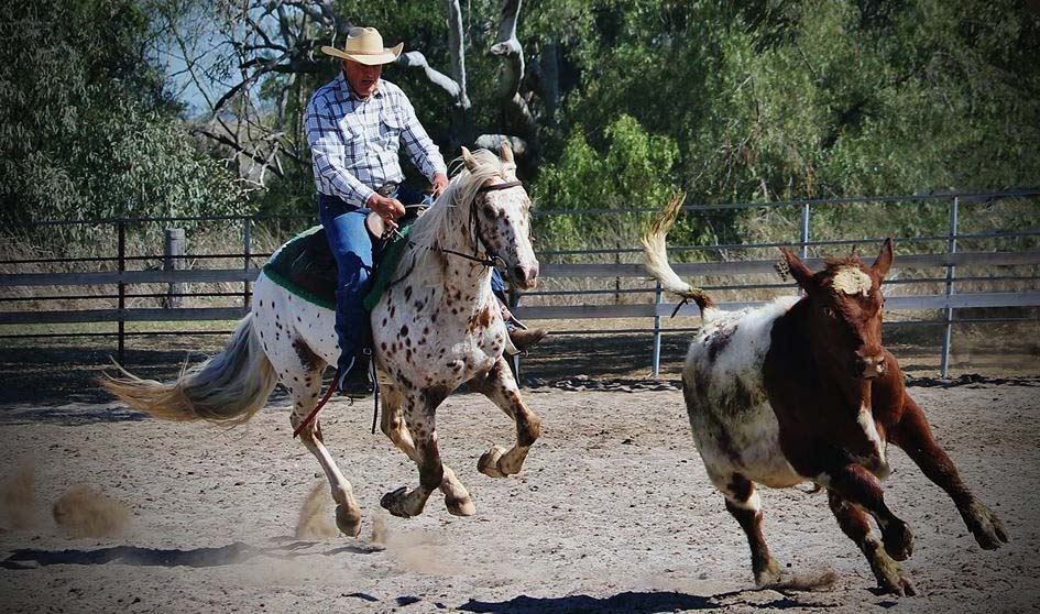 Appaloosa Sportaloosa stallion at stud in Australia - Cayuse Chatta Lena